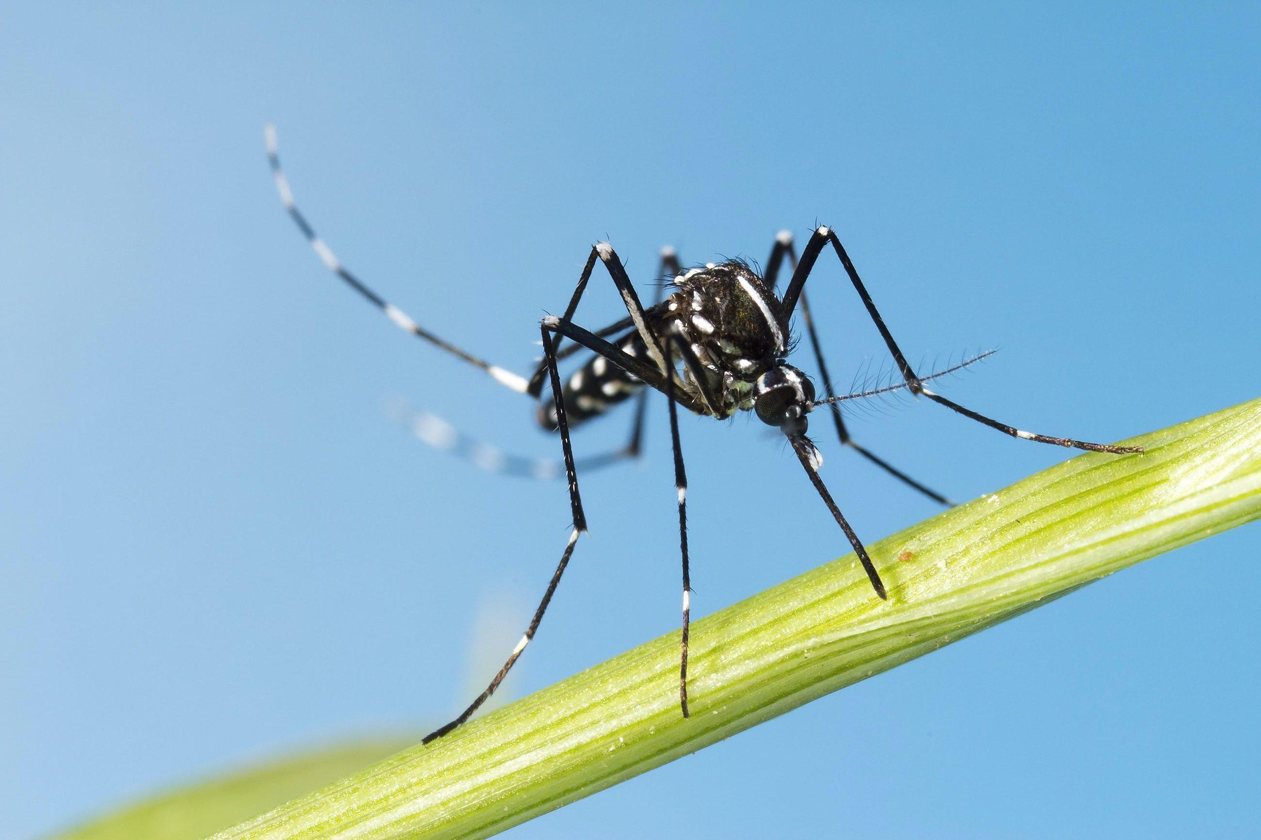 Reconnaître et soigner une piqûre de moustique tigre